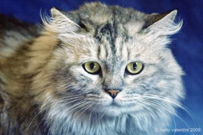 silvestro, gatto persiano